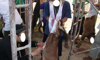 Penyembelihan hewan qurban 1433H